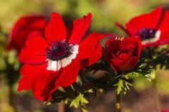 在绽放的红色鸦片银莲花属花 免版税图库摄影