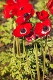 在绽放的红色鸦片银莲花属花 图库摄影