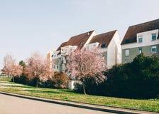 在绽放的美丽的樱桃树佐仓树与法国apartmen 免版税库存照片