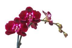 在绽放的美丽的热的红色花 免版税库存照片