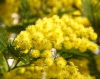 在绽放的美丽的黄色含羞草 免版税图库摄影