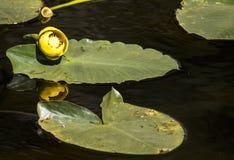在绽放的花在lilly垫 免版税库存图片