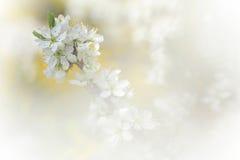在绽放的苹果树分支春天 免版税图库摄影