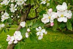 在绽放的苹果树 库存图片