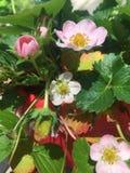 在绽放的草莓花 免版税库存图片