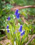 在绽放的蓝色葡萄风信花穆斯卡里armeniacum花 图库摄影