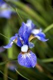 在绽放的蓝色虹膜花 免版税库存照片