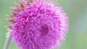 在绽放的蓟花在领域,花从风摇摆,移动微风的蓟的一阵香气在日落 股票视频