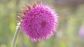 在绽放的蓟花在领域,花从风摇摆,移动微风的蓟的一阵香气在日落 股票录像