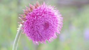在绽放的蓟花在领域,花从风摇摆,移动微风的蓟的一阵香气在日落 影视素材