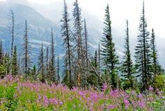 在绽放的野花反对一座多雪的山 库存图片