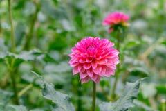 在绽放的紫罗兰色大丽花在庭院里 库存图片