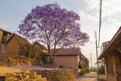 在绽放的紫色兰花楹属植物在非洲城市广场 库存图片