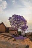 在绽放的紫色兰花楹属植物在非洲街道正方形 免版税库存图片