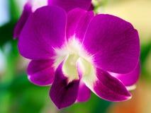 在绽放的紫色兰花 免版税库存图片