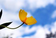 在绽放的黄色树鸦片 免版税库存图片