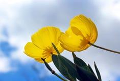 在绽放的黄色树鸦片 图库摄影