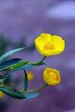 在绽放的黄色树鸦片 库存照片