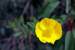 在绽放的黄色树鸦片 库存图片