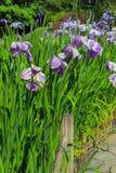 在绽放的紫色西伯利亚虹膜沿庭院道路 免版税库存图片