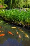 在绽放的紫色西伯利亚虹膜由Koi池塘 库存照片