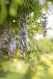 在绽放的紫藤树 库存图片