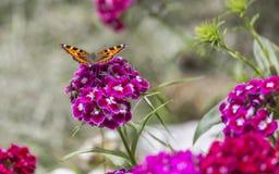 在绽放的蝴蝶 免版税库存照片