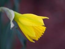 在绽放的黄水仙 图库摄影