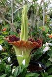 在绽放的Amorphophallus Titanum (尸体花) 库存照片