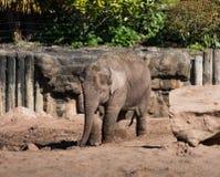 在彻斯特动物园,彻斯特的亚洲或亚洲大象亚洲象属maximus 免版税图库摄影