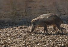 在彻斯特动物园,彻斯特的比萨扬人有疣的猪SU cebifrons negrinus 库存照片