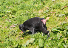 在彻斯特动物园, Chesire的猴子 免版税库存图片