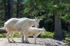 在贾斯珀国家公园的两只石山羊 库存图片