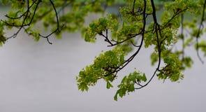 在维斯瓦河大道的春天树 库存照片