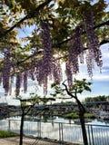 在水旁边的开花的树 免版税库存图片