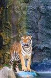 在水旁边的老虎 免版税库存图片