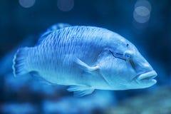 在水族馆的一个海鱼 免版税库存图片
