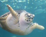 在水族馆的一只乌龟 库存照片