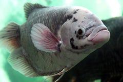 巨型吻口鱼 库存图片