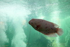 巨型吻口鱼 免版税库存照片