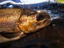 在水族馆的三文鱼 库存照片