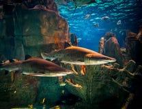 在水族馆的两个鲨鱼 免版税库存图片
