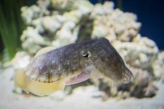 在水族馆的乌贼 免版税库存照片