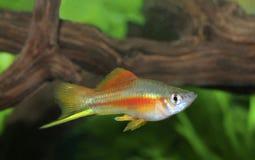 在水族馆的五颜六色的公霓虹Swordtail鱼 免版税库存照片