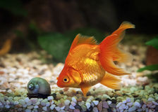在水族馆的伟大的金鱼有绿色植物和石头的 免版税库存照片