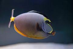在水族馆的典雅的unicornfish 库存图片