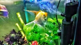 在水族馆的天使鱼 库存图片