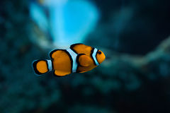 在水族馆的小丑鱼 库存图片