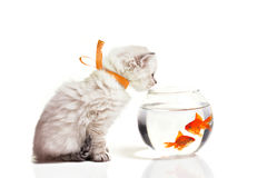 小的小猫和金鱼 图库摄影