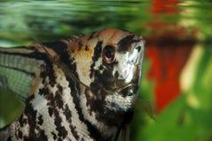 在水族馆的小的anemonefish 图库摄影